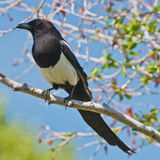 Magpie on a tree branch Royalty Free Stock Images
