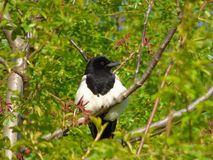 Magpie on tree branch Royalty Free Stock Image
