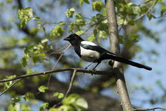 Magpie on the tree Royalty Free Stock Images