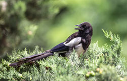 Magpie on Tree Royalty Free Stock Photography