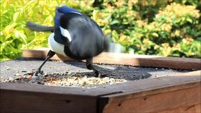 Magpie very hungry. Eating bird seed stock footage
