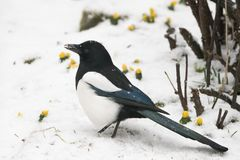 Magpie walking in snow Royalty Free Stock Images