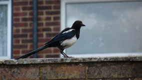 Magpie on the wall Stock Photos