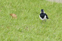 Magpie watching at us Royalty Free Stock Photos