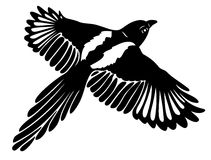 Magpie, wings. Great magpie in flight, with large wings Stock Photos