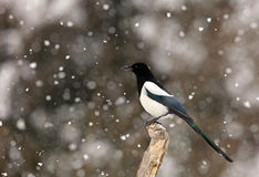 Magpie in Winter. The picture was taken in Hungary Royalty Free Stock Photo
