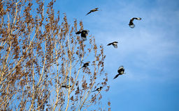 Magpies Royalty Free Stock Photos