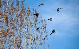 Magpies fotos de stock royalty free