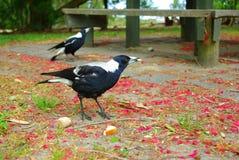 magpies Стоковая Фотография RF