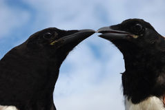 Magpies 3 Royalty Free Stock Image