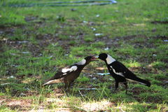 magpies Immagine Stock