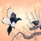 magpies Imagens de Stock Royalty Free