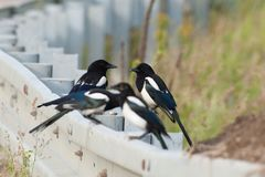 magpies Imagem de Stock Royalty Free