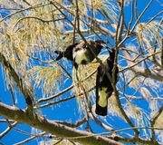 Magpies Cavorting. Two black and white Magpies with beaks touching in tree branches with spiny tendrils with a bright blue sky background Royalty Free Stock Photography
