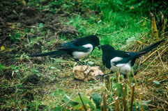 Magpies. Stock Photography