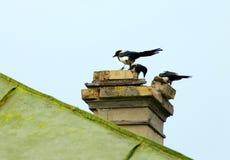 Magpies curiosos Imagem de Stock