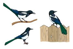 Magpies - vector illustration Stock Images