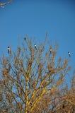 Magpies em uma árvore fotos de stock royalty free