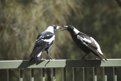 Magpies Feeding. One magpie feeds another in Sydney Australia Royalty Free Stock Image