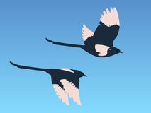 Magpies in flight. Two magpies against a blue sky Vector Illustration