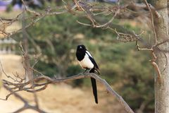 Magpies(Pica pica) royalty free stock images