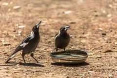 Magpies and hubcap stock image