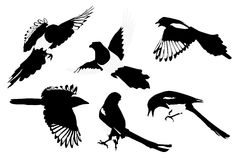 Magpies illustration Stock Photo