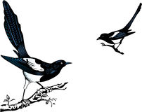 Magpies Stock Image