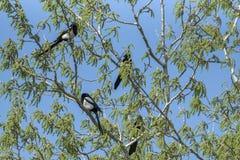 magpies foto de stock