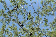 Magpies stock photo