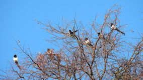 Magpies sit on the top of a tree and then one fly away. Pica pica stock video footage
