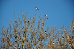 Magpies on a tree. Magpies perched on a tree Royalty Free Stock Image