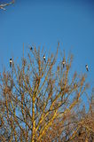 Magpies on a tree. Magpies perched on a tree Royalty Free Stock Photos