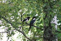 Magpies on the tree royalty free stock photography