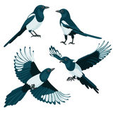 Magpies on white background Royalty Free Stock Image