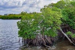 Magrove-Bäume Lizenzfreie Stockbilder