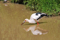 Maguari Stork Stock Photography