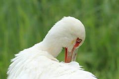 Maguari stork Royaltyfria Foton