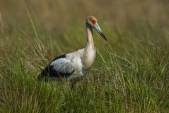 Maguari Stork. Ciconia maguari Stock Photo