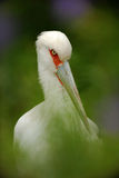 Maguari Stork, Ciconia maguari, detail portrait of white bird with red eyes, bird in the nature forest habitat, hidden in the gree Stock Photography