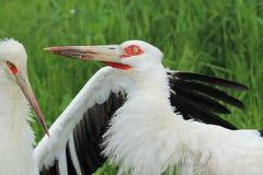 Maguari stork Stock Photography