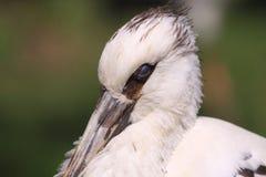 Maguari stork Stock Photos