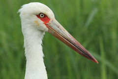 Maguari stork Royalty Free Stock Photo