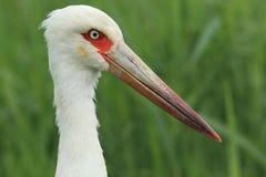 Maguari stork. The detail of maguari stork Royalty Free Stock Photo