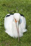 Maguari Stork Stock Photo