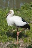 Maguari Stork Royalty Free Stock Image