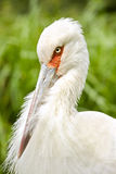 Maguari storks head closeup med trevlig grön bakgrund Arkivfoton