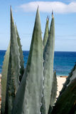 Maguey Royalty Free Stock Images