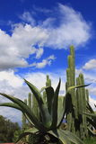 Maguey and cactus Royalty Free Stock Photography