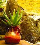 Maguey mexicano Foto de archivo